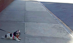 Blowing a rasberry (Robert S. Photography) Tags: dog puppy sidewalk brooklyn newyork sony dscwx150 iso 100 summer scene street color august 2018