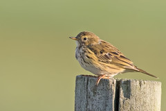 Meadow Pipit (drbut) Tags: meadowpipit anthuspratensis grass meadows bird birds avian wildlife animal nature canonef500f4lisusm