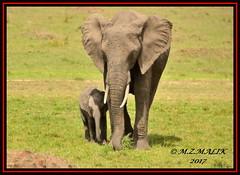 FEMALE AFRICAN ELEPHANT WITH CALF (Loxodonta africana)....MASAI MARA....SEPT 2017 (M Z Malik) Tags: nikon d3x 200400mm14afs kenya africa safari wildlife masaimara exoticafricanwildlife elephants ngc npc