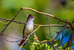Ash-throated Flycatcher (hyu767) Tags: ashthroatedflycatcher flycatcher