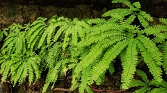 Maidenhair Fern (Dan Nevill) Tags: fern