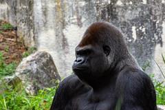 Gorille (antoine_blin) Tags: animal arbres beauval colors couleurs d7200 feuilles green leaf nikon tamron70300mmf456divc trees vert zoo