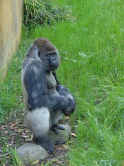 Gorilla Bokito. (Loekje19) Tags: gorilla bokito