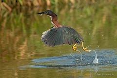 The fish gets it. (Earl Reinink) Tags: bird animal water heron greenheron outdoors nature earl reinink earlreinink ieodiazdza