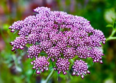 Umbellifer (rustyruth1959) Tags: nikon nikond5600 tamron16300mm uk england herefordshire brobury broburyhousegardens garden house flower umbellifer plant bloom pink outdoor nature