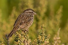 Sweet Song of the Sparrow (MelRoseJ) Tags: sanrafael california unitedstates us sonyalpha sony sonyilca77m2 sal70200g a77ii alpha autofocus nature northerncalifornia bayarea birds