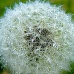 Wet Dandelion thumbnail