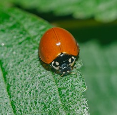 Cycloneda sanguinea - Unspotted Ladybird Beetle (Linnaeus, 1763) (A Sprinkle of Earth) Tags: cycloneda cyclonedasp sp cyclonedasanguinea southamerica américadosul neotropical red nospots vermelha semmanchas joaninhasemmanchas joaninha insecta insect insects inseto insetos brasil brazil nature natureza naturalism naturaleza photonaturalism fotonaturalismo natural black white branco preto green verde ladybug ladybeetle ladybird orange laranja arthropoda arthropod arthropods artrópode artrópodes animalia animal animals animais coleoptera polyphaga cucujoidea coccinellidae coccinellinae coccinellini ladybirdbeetle beetle beetles besouro besouros predator predadora wild wildlife selvagem vidaselvagem ceará fortaleza 2018 hd hdr micro plant plants planta plantas nikon