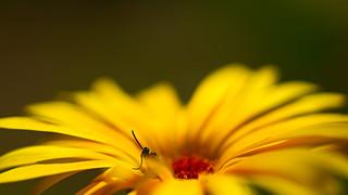 coucou...-bain de pollen...to zoom