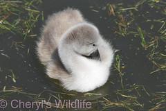 Cygnet (Cheryl's Wildlife) Tags: wildlife nature dorset rspb birds 2018 birdwatching nikon sigma photography southcoast arne poole portland weymouth naturereserve pooleharbour