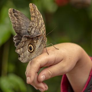 Giant Forest Owl Butterfly, Caligo eurilochus