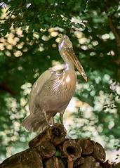 podium (rondoudou87) Tags: pélican pelecanus oiseau oiseaux bird wildlife wild pentax k1 nature natur parc reynou park zoo 300mm sauvage light lumière plume feather bokeh lumiere parcdureynou