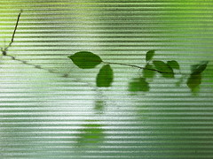 the green on the other side (vertblu) Tags: window windowpane patternedglass patterned refraction plant leaves green greens shadesofgreen blurred blur blurry lines linien distorted distortion glass glasspane vert vertblu grün simple simpleyeteffective boldandsimple