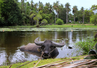 Water Buffalo loves to wallow around in the mud and water