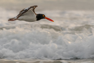 Oyster Catcher and the waves