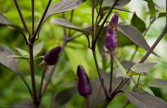 (Niightwalker) Tags: nikon sweden d90 nikond90 nature animals woods forest chili greenhouse polytunnel