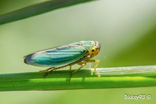 Cicadelle verte (Cicadella viridis)