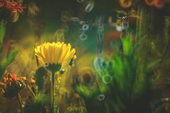 Marigold (Dhina A) Tags: sony a7rii ilce7rm2 a7r2 a7r minolta rf rokkorx 250mm f56 mirror reflex minolta250mmf56 md prime rokkor bokeh flower marigold