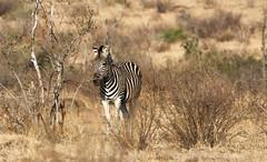 Zebra (Aurélien Latour) Tags: canoneos80 canon nature animal wild afriquedusud southafrica afriqueafrica zèbre zebra