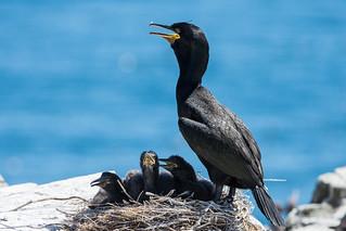 Shag Phalacrocorax aristotelis At Nest