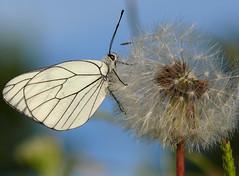 p1410014 (claudiopoli) Tags: animali animalia arthropoda insecta lepidoptera pieridae aporia crataegi pieridedelbiancospino autouploadfilenamep1410014jpg