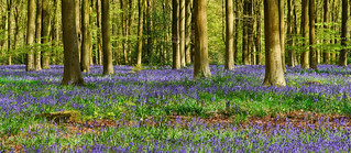 Bluebells, Lockeridge, Wiltshire, England
