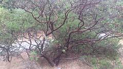 Arctostaphylos insularis (sftrajan) Tags: islandmanzanita arctostaphylosinsularis californianativeplantsgarden ericaceae botany tree arbra californianativeplants strybingarboretum sanfrancisco manzanita sanfranciscobotanicgarden californiaplants botanicgarden jardinbotanique jardimbotânico jardínbotánico botanischergarten ботаническийсад