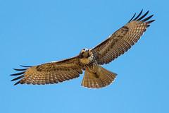 Red-tailed Hawk (X89_9947-1) (Eric SF) Tags: redtailedhawk hawk raptor santaclaracounty
