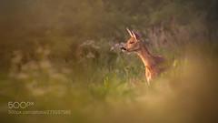 lucky luke (KevinBJensen) Tags: bokeh deer field forest grass light nature sunset wildlife
