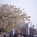 Full Bloom Sakura - Yokohama, Japan