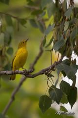 Oroville 2018_0071 (AF__Photography) Tags: warbler