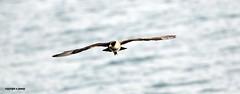 J78A0676 (M0JRA) Tags: birds flight flying sea waves wildlife rats walks gardens parks fields trees lakes ponds ducks swans rspb