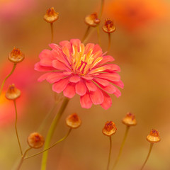 Zinnia (hasjhasj1) Tags: bloemen zinnia