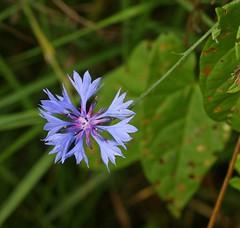 Cornflower (Centaurea cyanus) 10.9.2018 (2) (wildlifelover69) Tags: cornflower centaureacyanus whitlingham whitlinghamgreatbroadwhitlinham little broadnear norwichnorfolk1092018wild flowers – blue or purple