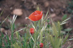 Happy Monday!.... (♥ Annieta ) Tags: annieta mei 2018 sony a6000 holiday vakantie france frankrijk spanje spain espagne flower fleur flora allrightsreserved usingthispicturewithoutpermissionisillegal klaproos papaver rood red rouge rosso wildflower wildebloem fleursauvage