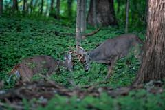 Antlers (jmishefske) Tags: 2018 d850 buck wart43 fight spar rootriver fall september antler classic county milwaukee rack wisconsin wildlife parkway whitetail nikon rut deer head