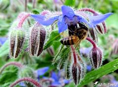 Bourrache officinale et son abeille (Jean-Daniel David) Tags: nature fleur bourracheofficinale bleu insecte insectevolant abeille macro grosplan closeup vert verdure bokeh plante suisse butineuse tessin bosco suisseitalienne