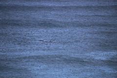IMG_3568 (gervo1865_2 - LJ Gervasoni) Tags: surfing with whales lady bay warrnambool victoria 2017 ocean sea water waves coast coastal marine wildlife sealife blue photographerljgervasoni