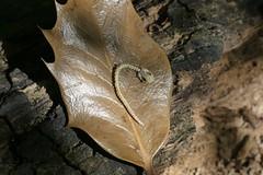 Juvenile Slow Worm Skeleton (StevePaisley) Tags: slow worm reptile lizard legless skeleton