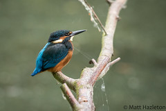 Kingfisher (Matt Hazleton) Tags: kingfisher alcedoatthis bird wildlife nature animal outdoor canon canoneos7dmk2 canon100400mm eos 100400mm 7dmk2 matthazleton matthazphoto