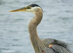 Blue heron (NaturewithMar) Tags: blue heron bird wisconsin