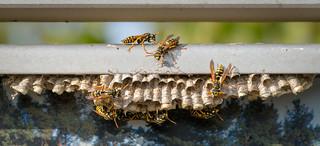 Wespen beim bauen