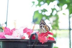 Super-Takumar 50mm f:1,4 _IMG_1074 (Paul Zilvanus Lonan) Tags: flower butterfly vintagelens classiclens manuallens supertakumar50mm 50mmlens