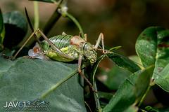 Western saddle-backed bush cricket female ponding eggs (Ephippiger diurnus)-9633 (George Vittman) Tags: insect cricket large nikonpassion wildlifephotography jav61photography jav61 fantasticnature