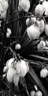 Yucca Flowers