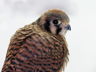 Two-month-old American Kestrel