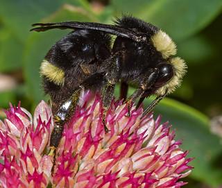 Last of Summer's Bumblebees