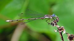 Spreadwing IMG_0574 (Jennz World) Tags: ©jennifermlivick mountpleasantnaturepark mountpleasant ontario canada dragonfly damselfly caterpillar butterfly