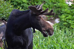 Young bull moose with porcupine quills in his nose (rangerbatt) Tags: