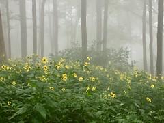 Foggy Morning (ninjab12000) Tags: neelsgap northgeorgia appalachiantrail forest hiking wildflowers foggy